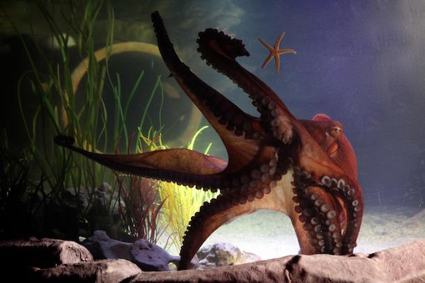 Hank Giant Pacific Octopus At SEA LIFE Manchester