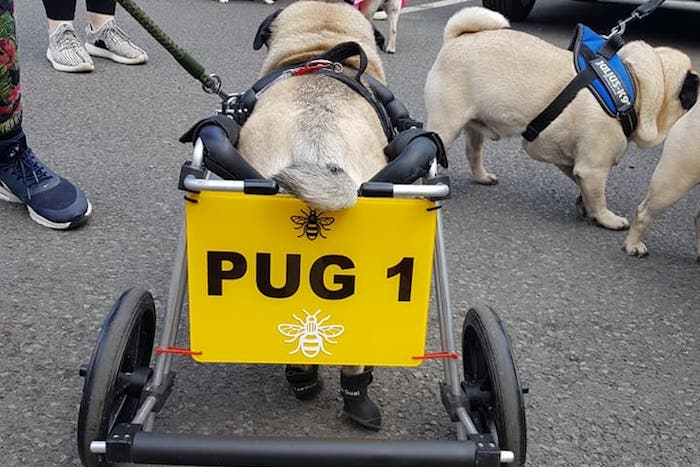 Pugs dressed as bees walk to raise funds for memorial to Arena bomb victims I Love Manchester
