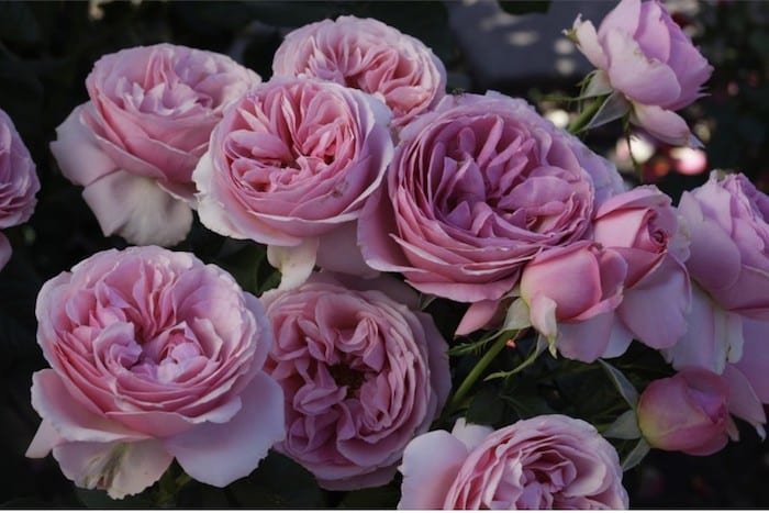 Beautiful new variety of rose will honour youngest victim of Manchester Arena attack I Love Manchester