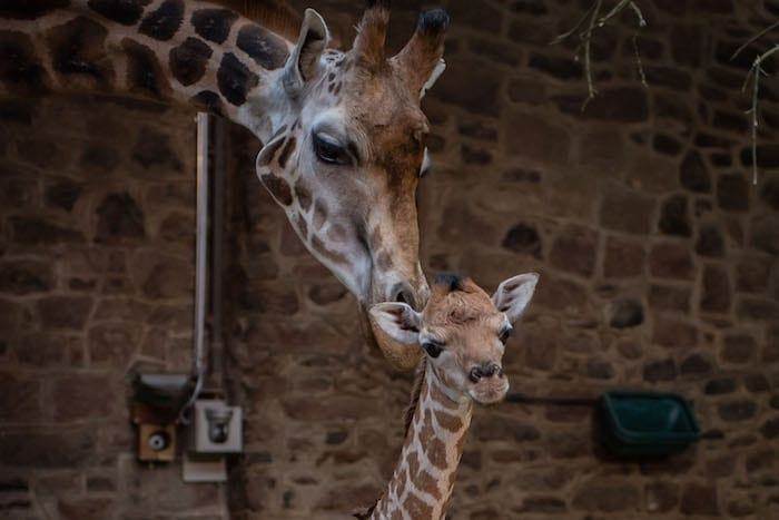 Chester Zoo brings the animals to you with a virtual zoo day I Love Manchester