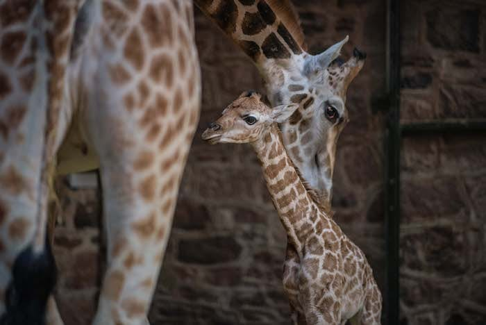 Chester Zoo is fighting for its future – how you can help I Love Manchester