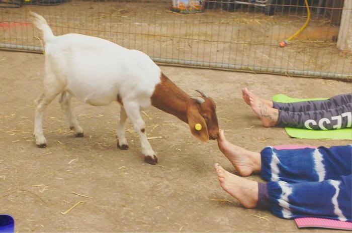 goat yoga bbc